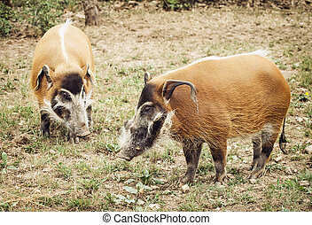 Pair of Red river hog (Potamochoerus porcus). Animal theme....