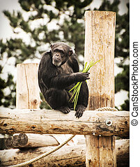 Little chimpanzee is sitting on the wooden construction,...