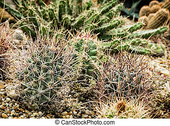 Various cacti mix, gardening theme - Various cacti in the...