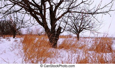 Dry Grass Under White Snow in Winter Cherry Garden