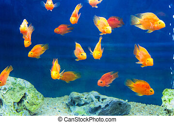 Red Parrot Cichlid - Photo of red parrot cichlid in blue...