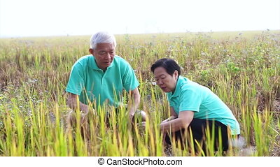 Asian senior couple looking at rice field crops. Farm and...