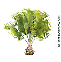 Copernicia baileyana palm isolated with clipping path