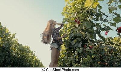 Lovely girl harvests the grape