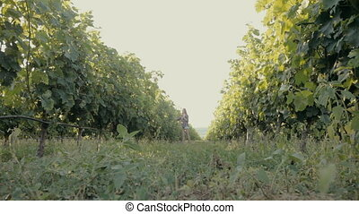 Beautiful girl walking along the rows of of the vineyard -...