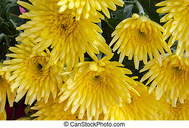 chrysanthemums - Several natural yellow chrysanthemums