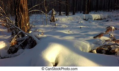 Snow drifts covered the sun in winter mixed forest.