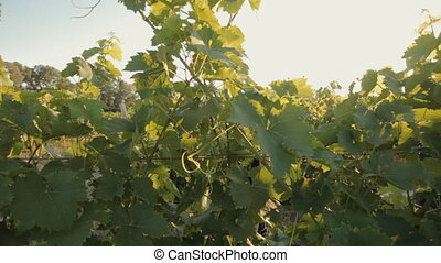 Girl with long black hair walks through the vineyard under...
