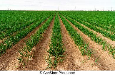 Farmer's Field Green Onions California Agriculture Food...