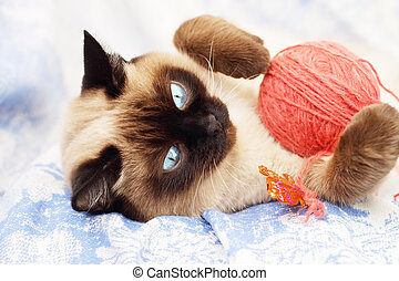 Siamese cat on a blue background