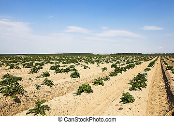 sprouting potatoes. Field