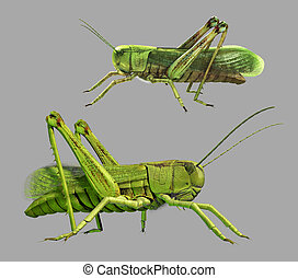 Grasshopper in front of gray background