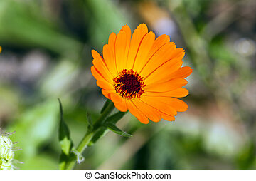 Calendula flower . close up - photographed close up yellow...