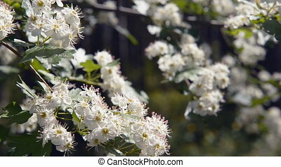 blossoms cherry coniferous forest - cherry blossoms branch...