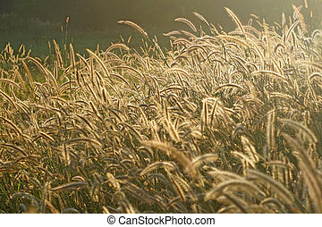 setaceum pennisetum or gramineae grass field at morning