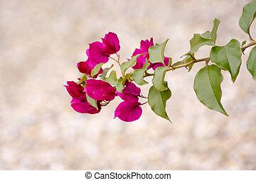 Bougainvillea flower in japan