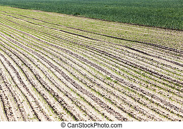 agricultural field with onions