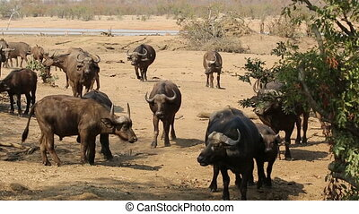 African buffalo herd - Herd of African buffaloes Syncerus...