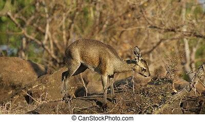 Feeding klipspringer antelope - A small klipspringer...