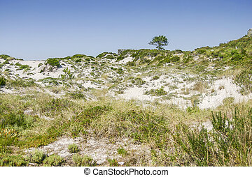 Dune vegetation on Cies Islands - Dune vegetation with...