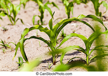 corn plants spring - agricultural field where maize is grown...