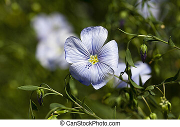 Flower of flax - photographed close-up of purple flower flax...