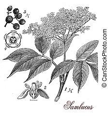 Sambucus, botanical vintage engraving - Vintage print...