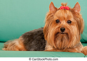 Yorkie with a red ribbon - Yorkie is lying on the green...