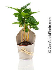coffee plant tree in paper packaging, on a white background.