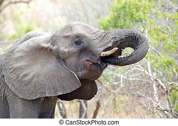 Drinking elephant - massive elephant drinking