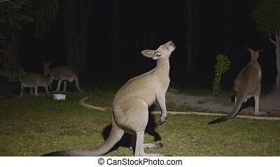 Kangaroo Regurgitates its food - Night video
