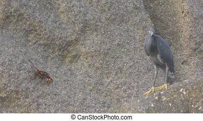 Pacific reef heron hunts for fish - Pacific reef heron...