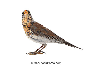 portrait thrush - thrush Turdus pilaris, isolated on white...