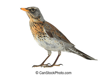 portrait thrush - thrush (Turdus pilaris), isolated on white...