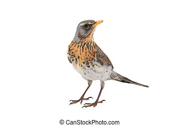 portrait, thrush, ,