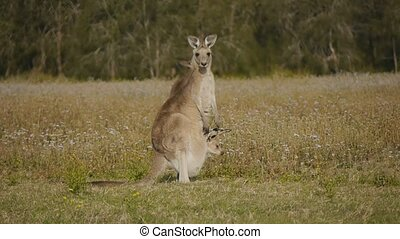 Kangaroo Joey stick in pouch - Kangaroo Joey stick head out...
