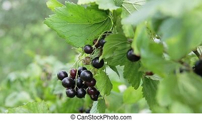 Black currant branch. - Ripe black currant on a branch in a...