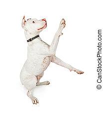 Playful Pit Bull Dog Over White