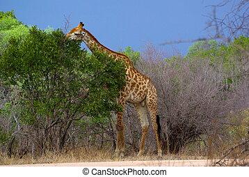 Giraffe eating - Giraffe enjoying fresh leaves