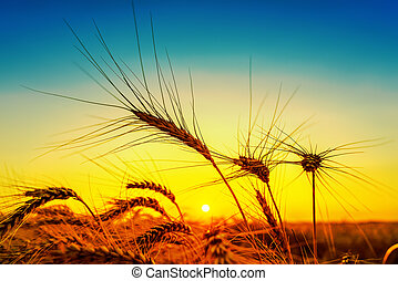 silhouette of harvest on field golden and blue color in...