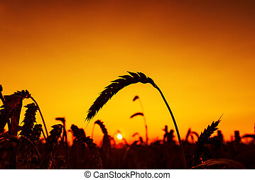 red sunset and harvest silhouette sun against