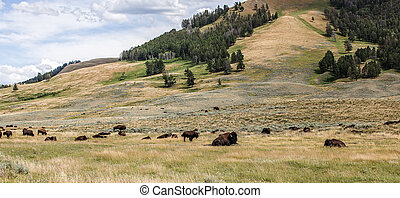 Bison Herd - Bison in Lamar Valley of Yellowstone