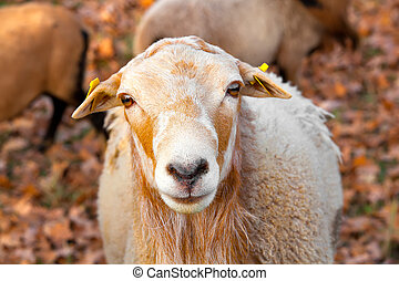 Nice ram in the pasture