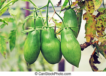 Green tomato in the greenhouse in the summer