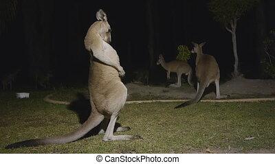 Wild Kangaroos fighting at Night