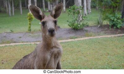 Young Eastern Grey Kangaroo Closeup to camera