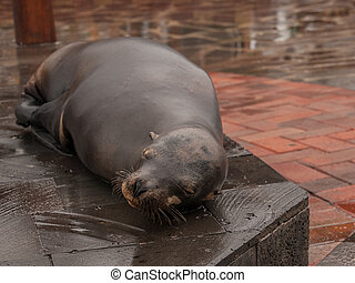 Sleeping Sea Lion
