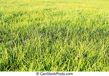 Green grass - Background and texture of Beautiful green...