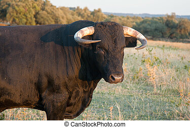 Spanish free range fighting bulls - Specimen of Spanish free...