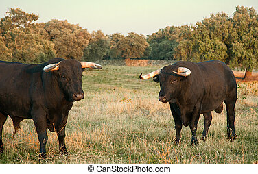 Spanish free range fighting bulls breed on extensive estates...